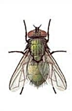 Mosca Cochliomyia hominivorax.jpg