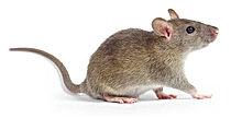 Rato Camundongo.jpg