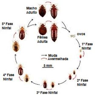 Ciclo de Vida do Percevejo de Cama.jpg