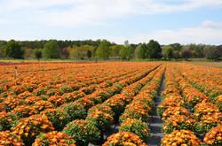 Orange Mum Field