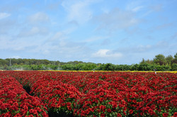 Red Mum Field