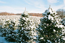 Timbuk Farms Christmas Tree Farm