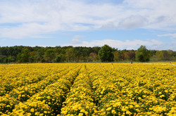 Yellow Mum Field