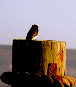 phoebe on stump 3