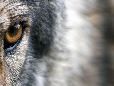 "Wölfe: ""Folge deinem Herzen"""
