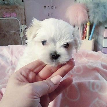 assured-breeder-has-stunning-maltese-pup