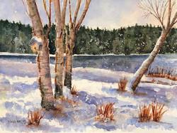 Riverbank Birch