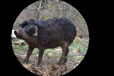 Cochon Mangalitza.png