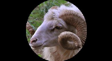 moutoncorse.png