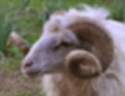 mouton corse.jpg