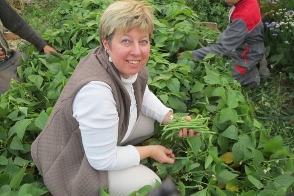récolte des haricots verts