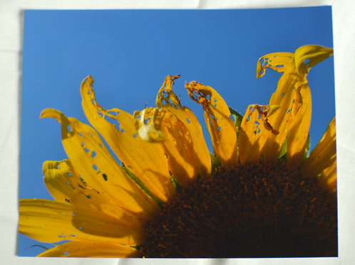 California Sunflower.