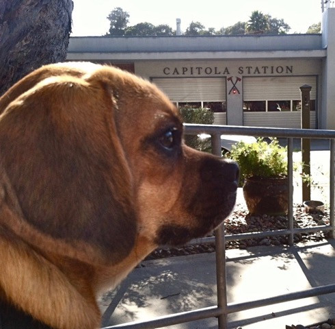 Puggle in Capitola Dog Friendly visit to Fire Station
