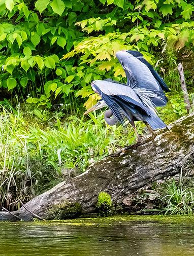 Heron taking wing2.jpg