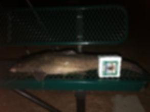 Catfish 20190322.jpg