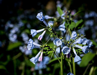 Blue bells.jpg