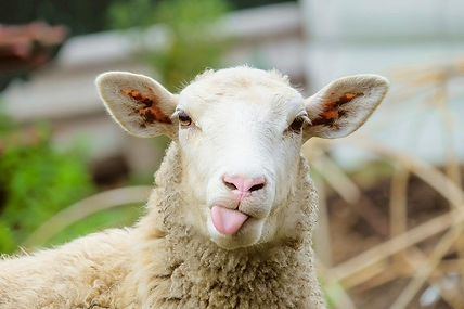 Sheep with tongue sticking out