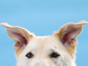 Φροντίδα για τα αυτιά του σκύλου
