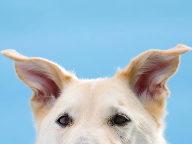 αυτιά σκύλου φροντίδα υγιεινή
