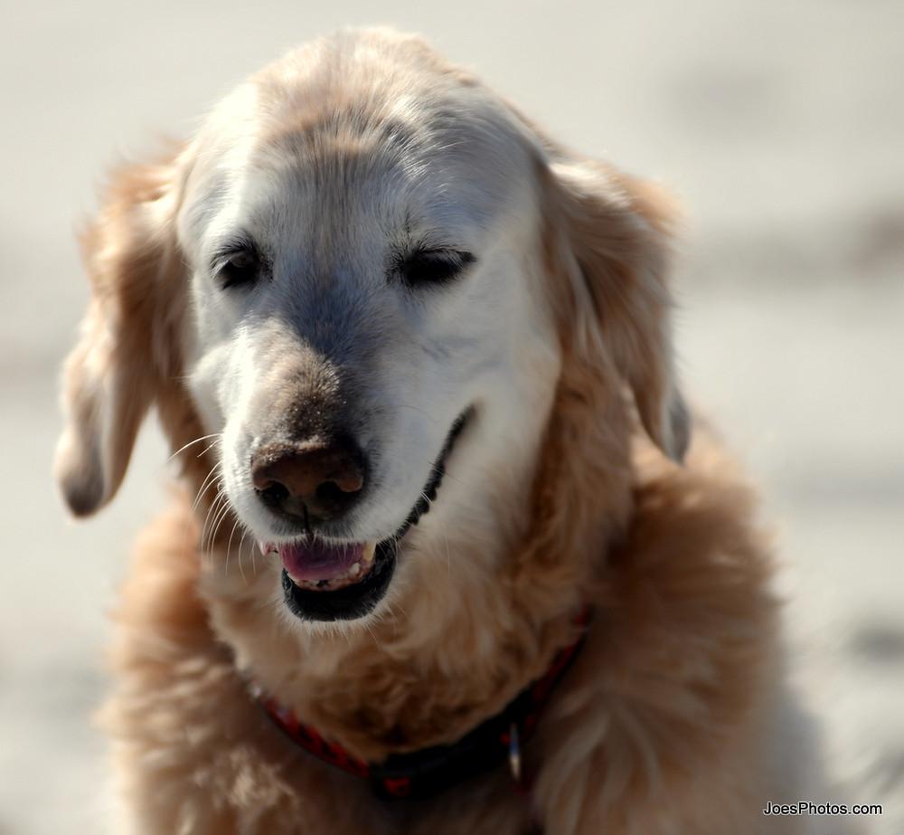Μεταφορά άρρωστου σκύλου σε κτηνίατρο pet taxi