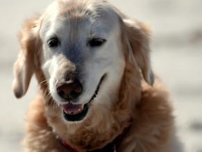 Τα προβλήματα υγείας του ηλικιωμένου σκύλου.