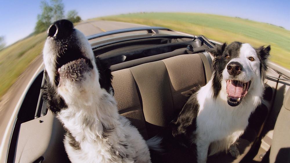 σκύλος ναυτία αυτοκίνητο αντιμετώπιση