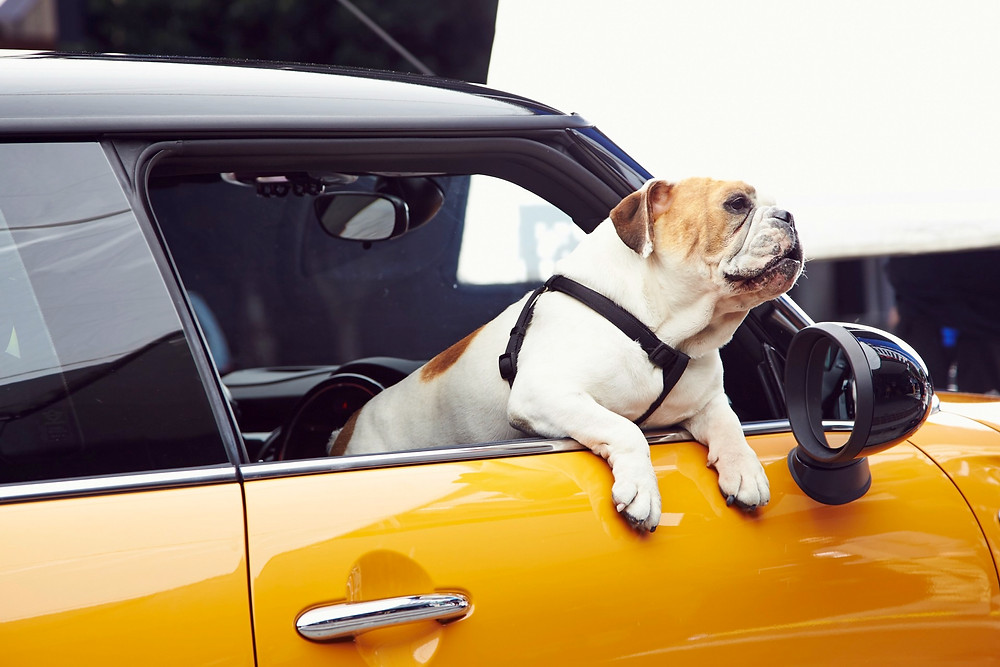 σκύλος φοβία αυτοκινήτου-σκύλους που δεν θέλει να μπει στο αυτοκίνητο