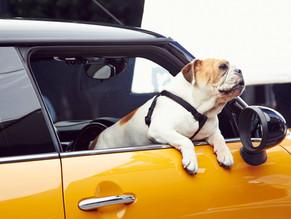 Σκύλος και φοβία του αυτοκινήτου