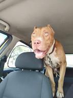 Τα σκυλάκια του i pet taxi
