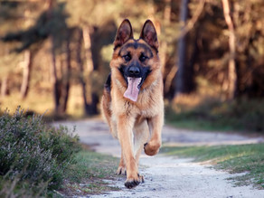Γερμανικός ποιμενικός, ένας προκομμένος σκύλος!