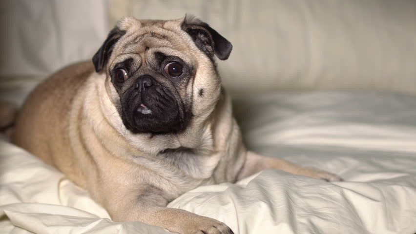 σκύλος δερματικά προβλήματα