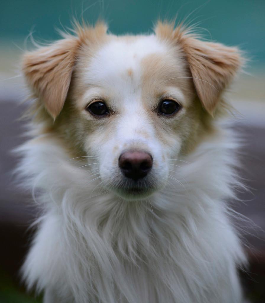 ράτσα σκύλου κοκκόνι με καταγωγή από την αρχαία Ελλάδα, χαρακτηριστικά φυλής