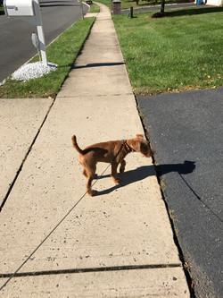 Dog Walking Franklin Park