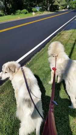 dog walking cranbury