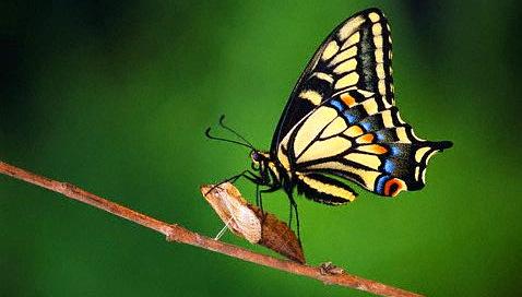 butterfly_aniseswallow_horiz