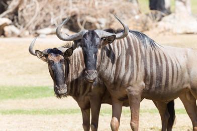 Brindled-wildebeest-closeup-539071341_50