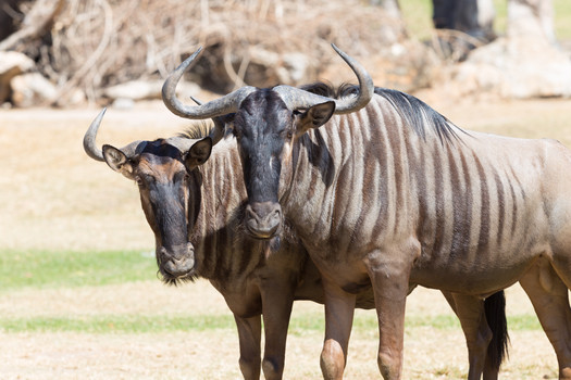 Brindled-wildebeest-closeup-539071341_50