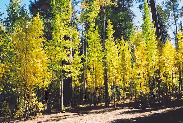 Quaking Aspen - Sequoia Natl Forest.jpg