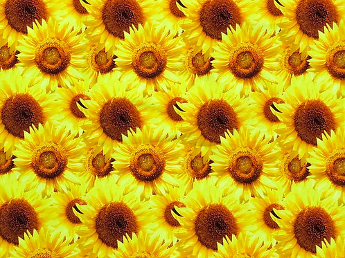 Michelle's 1 yard of Yellow Sunflowers- Cotton Lycra