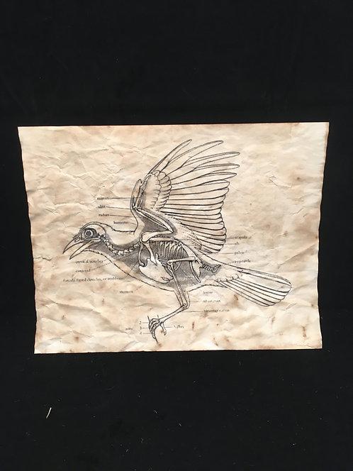Bird Anatomical Archive