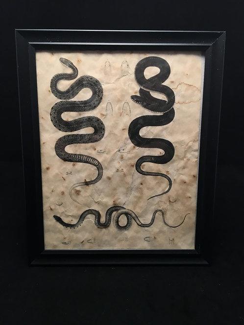 Framed Snake Anatomical Archive