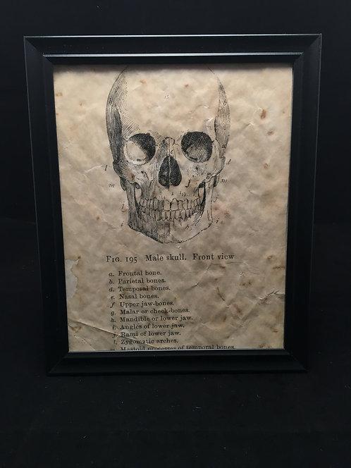 Framed Skull Anatomical Archive