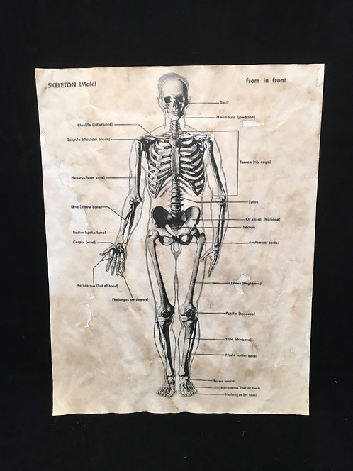 Skeleton Anatomical Archive