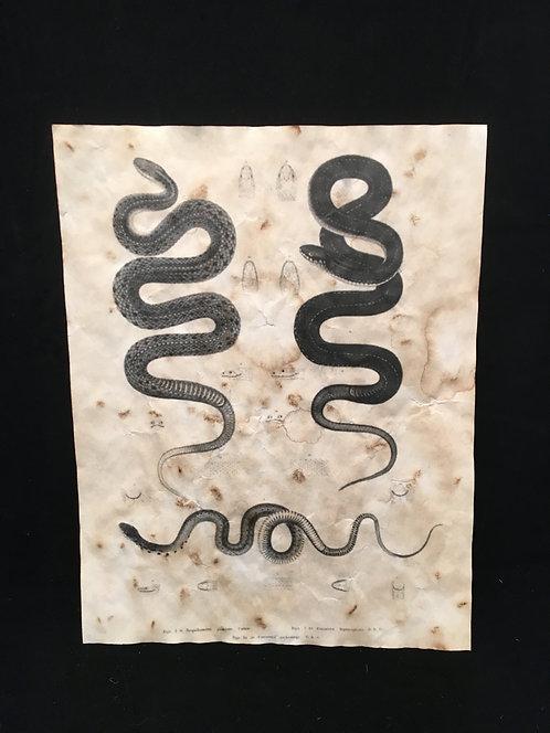 Snake Anatomical Archive