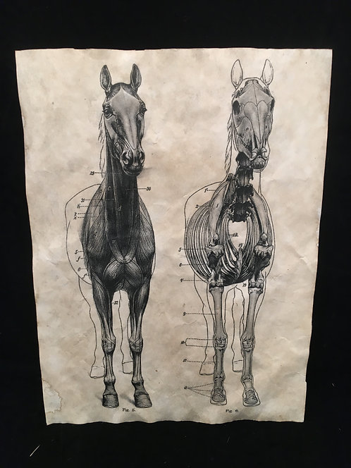 Equine Anatomical Archive