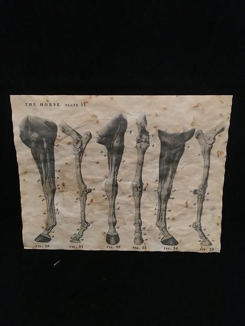 Equine Leg Anatomical Archive