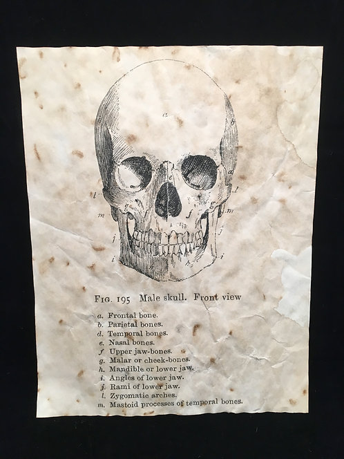 Skull Anatomical Archive