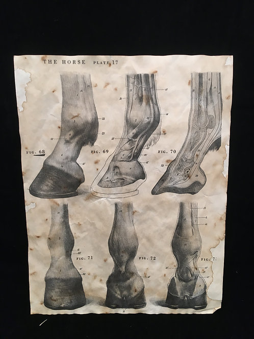 Equine Hoove Anatomical Archive