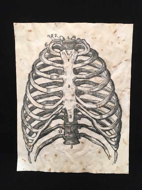 Rib Cage Anatomical Archive
