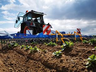 Beikrautregulierung im Kartoffelbau